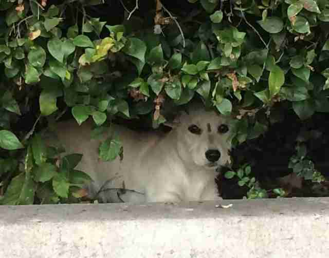 Scared dog hiding in the bushes