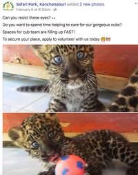 Facebook ad promoting big cat cub experiences