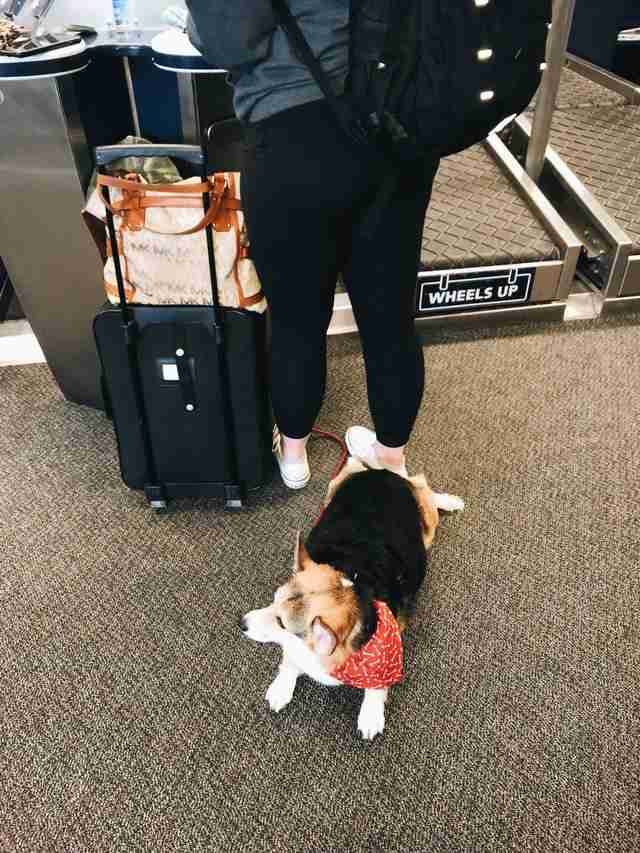 corgi comforts man in airport