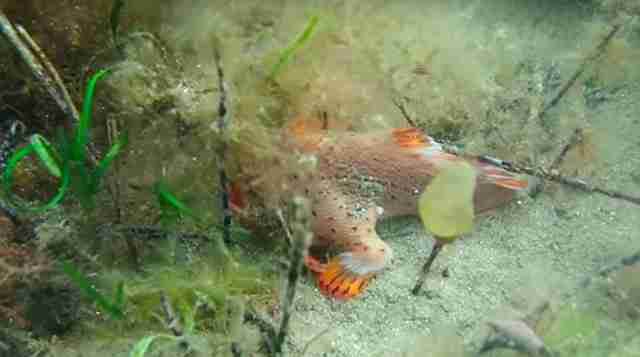 Rarest red handfish discovered near Tasmania