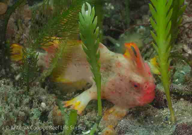 Red handfish discovered by divers off the coast of Tasmania