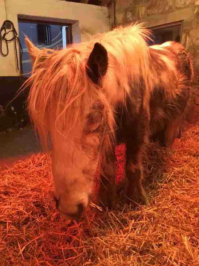 Horse under heat lamp in barn