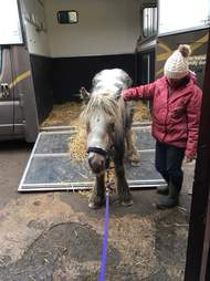 Rescued pony stepping off of truck