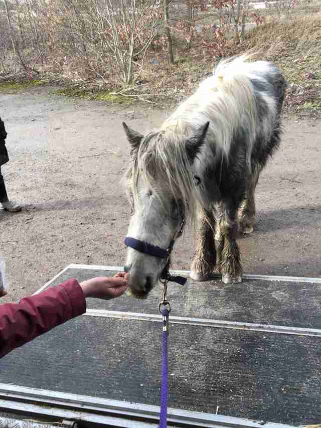 Woman coaxing rescued pony onto trailer