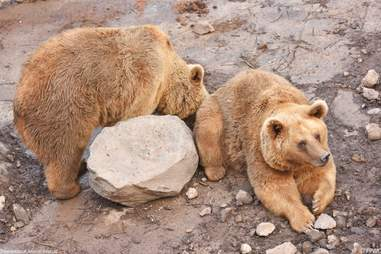 Bears rescued from Armenian alabaster factory at sanctuary
