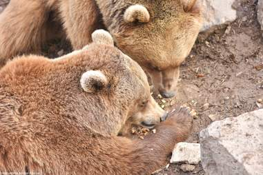 Bears saved from alabaster factory at sanctuary