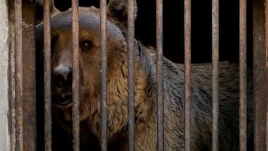 Bear caged in Armenia