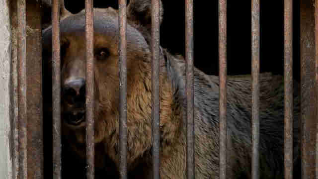 Bear caged in Armenia