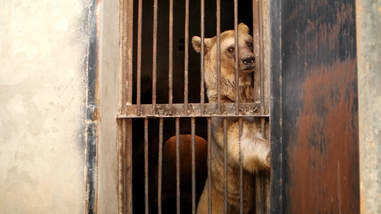 Bear caged in alabaster factory in Armenia