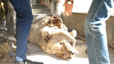 Bear being rescued from factory in Armenia