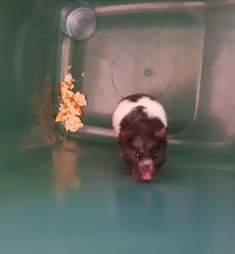hamster found in trash england