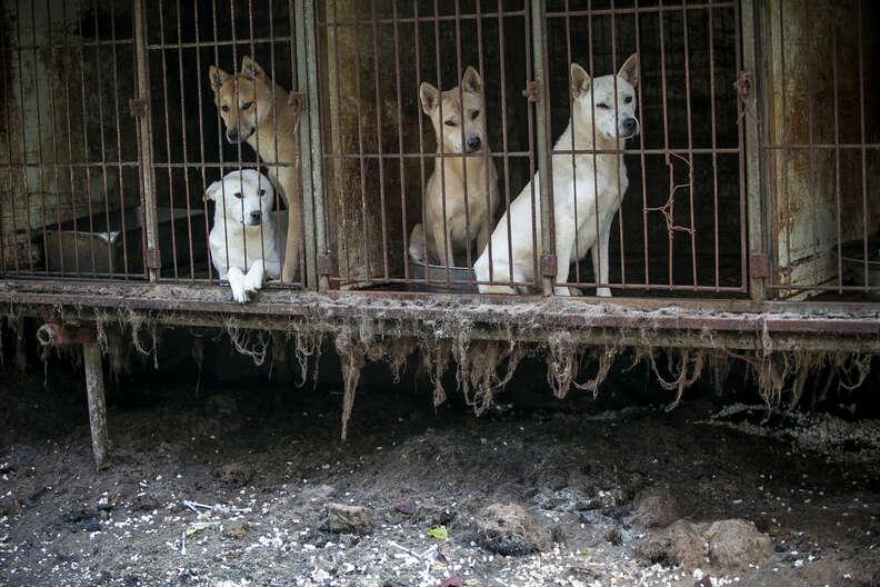 korean jindo dog meat olympics
