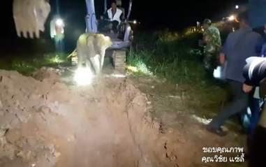 elephant calf rescue thailand