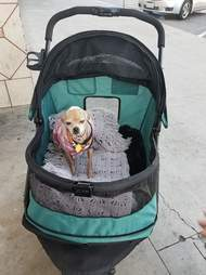 Chihuahua in dog stroller
