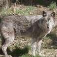 Captive grey wolf at zoo