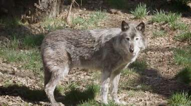 Portrait of grey wolf standing