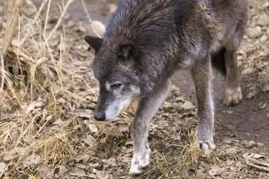 Grey wolf at zoo