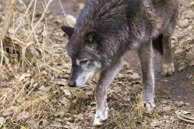 Grey wolf at zoo