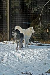Two wolves inside zoo enclosure