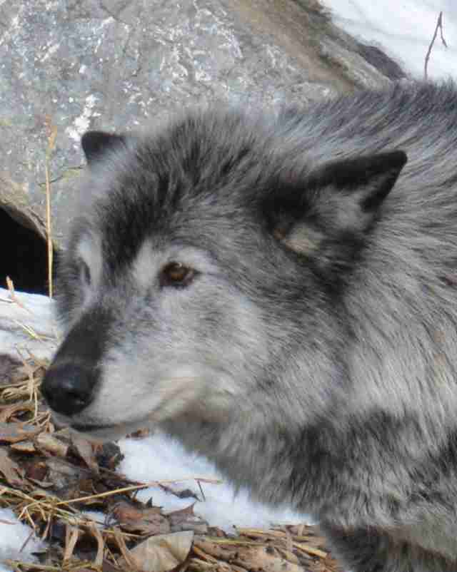 Close up shot of grey wolf