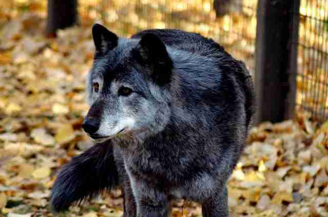 Portrait of grey wolf