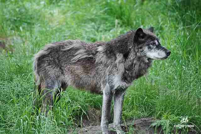 Captive grey wolf in her enclosure