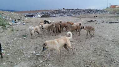 Dogs living at garbage dump in Turkey