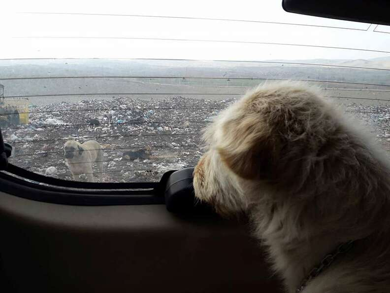 Dog looking out back window of car