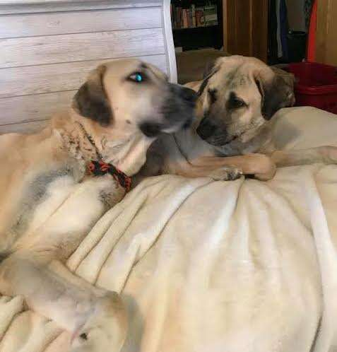 Two dogs snuggling on bed