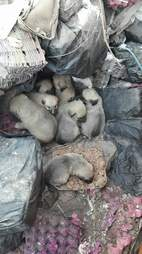 Puppies snuggling together at garbage dump