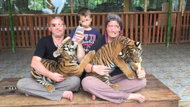 People bottle-feeding tiger cubs