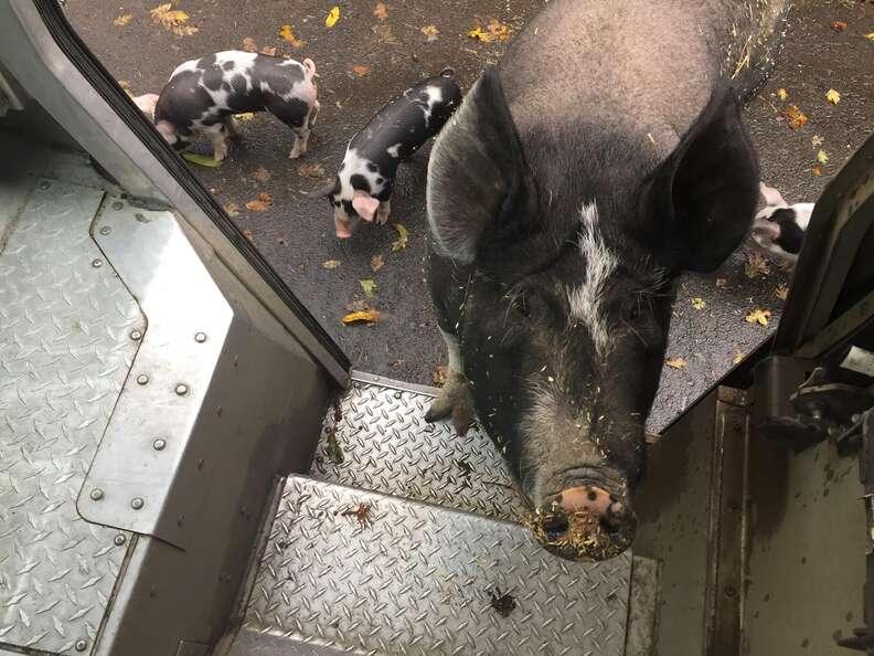 pig UPS driver oregon