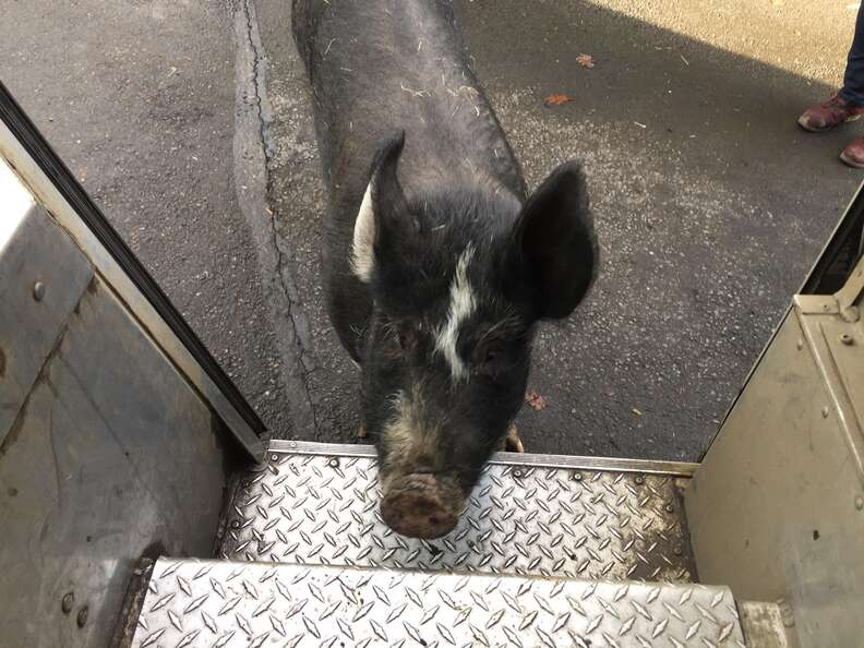 pig friend UPS driver oregon