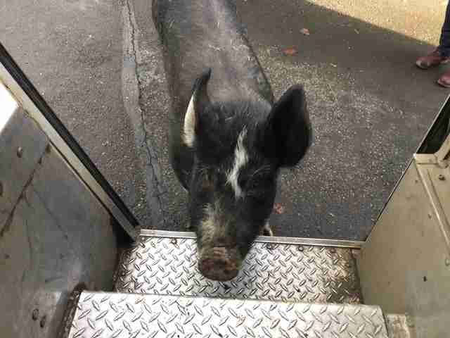 pig friend UPS driver oregon