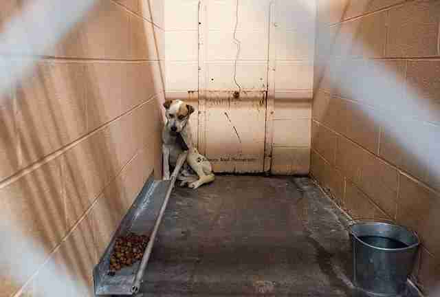 Shelter dog cowering at the back of a kennel