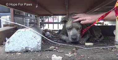 blind senior dog found in junkyard