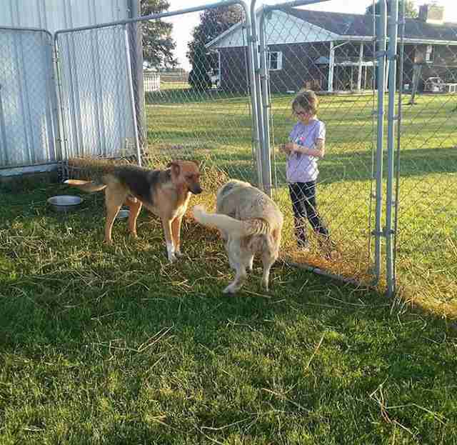 Dogs greeting each other in fenced-in yard