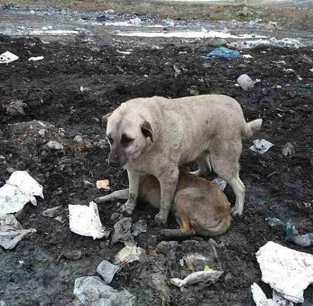 Dog standing over another dog at a landfill