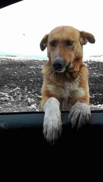 Stray dog poking his head through a car window
