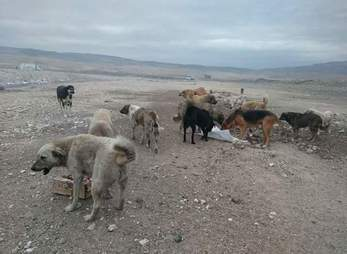 Stray dogs eating food at the landfill in Turkey