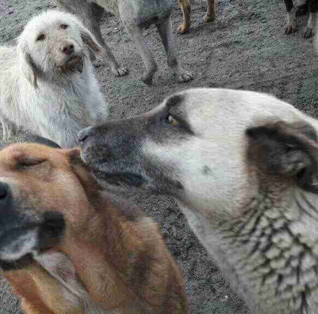Stray dogs at Turkish landfill