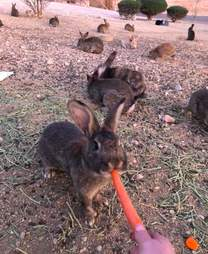 rabbits poisoned las vegas
