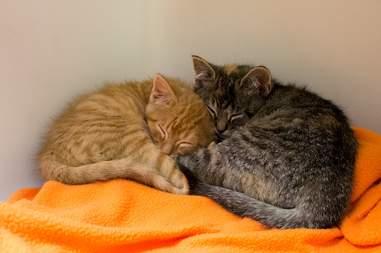 Rescue kitten siblings snuggling
