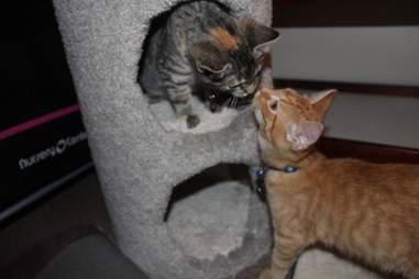 Rescue kitten siblings kissing