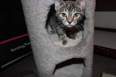 Rescue kitten Aphrodite in Wisconsin