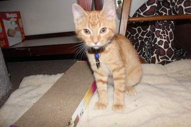 Rescue kitten Ares in Wisconsin who wouldn't stop meowing