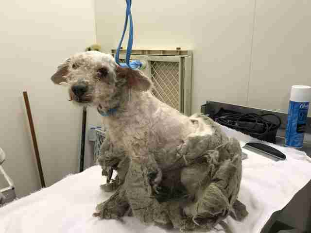 extremely matted dog shaved