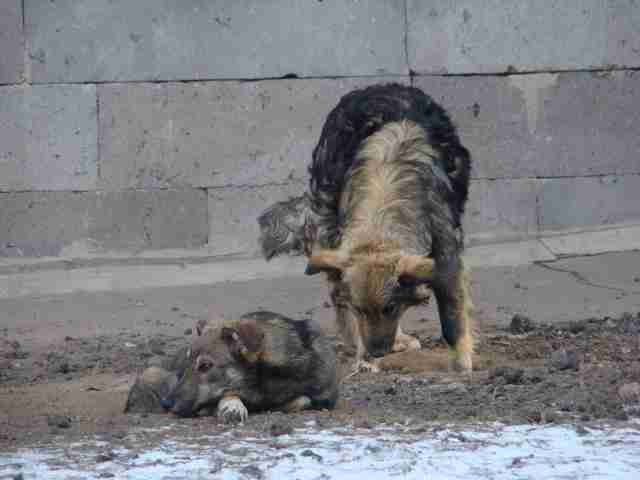 stray street dogs russia