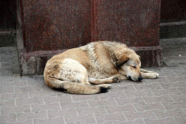 stray dog russia