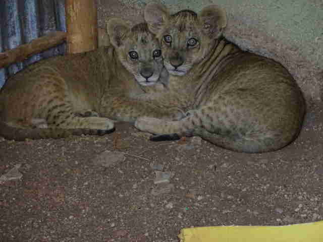 Scared lion cubs huddling together